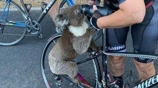 """Rowerzyści spotkali spragnionego koalę. """"Ma ktoś więcej wody?"""""""