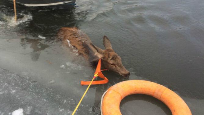 Trudna walka o życie trzech jeleni. Rwąca i lodowata <br />rzeka stała się śmiertelną pułapką