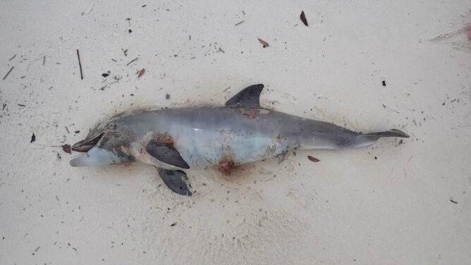 Kolejny martwy delfin w Zatoce Missisipi. <br />Od początku roku padło ich kilkadziesiąt