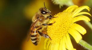 Pszczoły do rozpoznawania COVID-19
