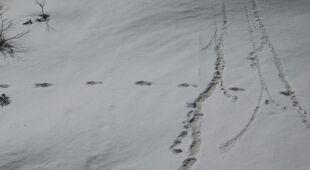 Indyjskie wojsko twierdzi, że znalazło ślady Yeti