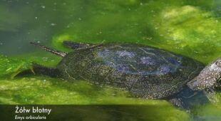 Należy uważać na żółwie błotne